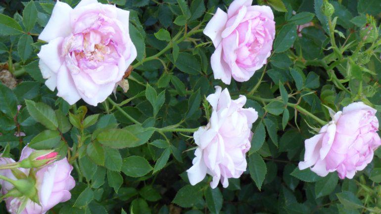 Rosa 'Forte dei Marmi'