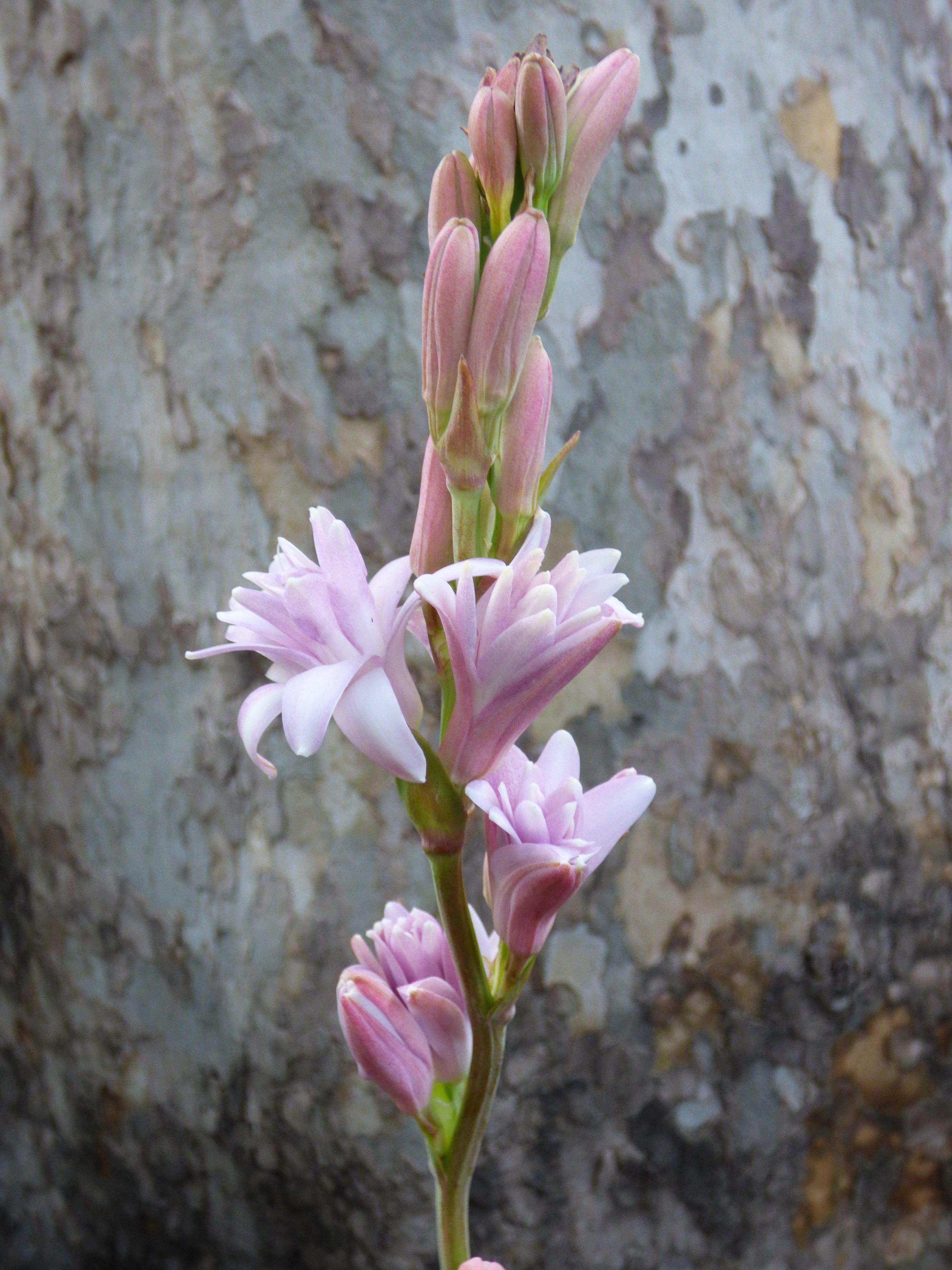 Coltivare Fiori Da Recidere tuberose colorate | italian botanical trips