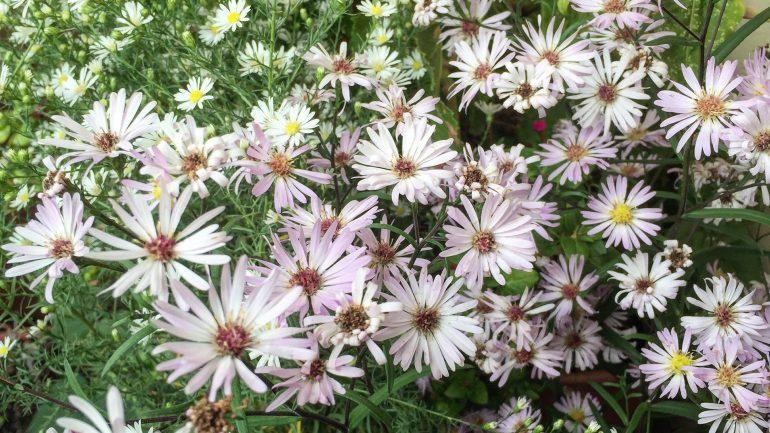 Settembrini e altre fioriture autunnali