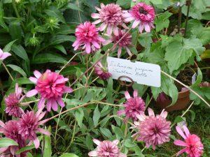 Echinacea purpurea 'Southern Belle'
