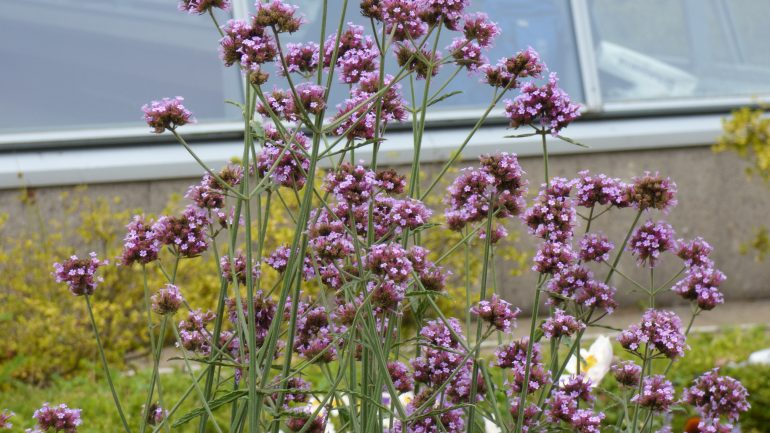 Verbena bonariensis, la bella scarmigliata