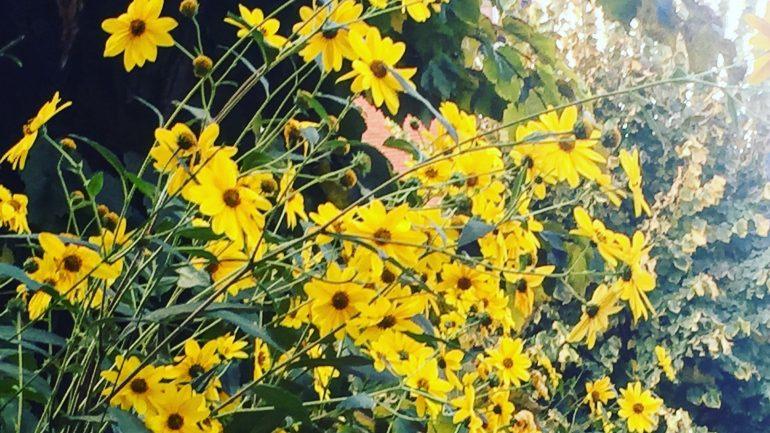 Margheritone gialle: ovvero, il topinambur