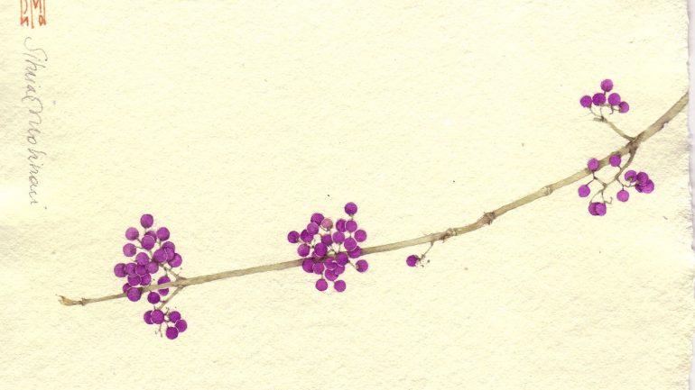 Callicarpa, perline violette