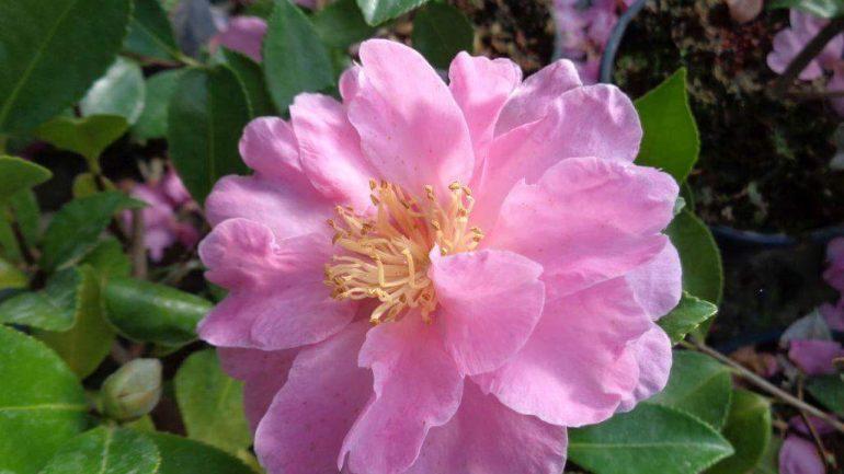 Sembra una rosellina, invece e' Camellia hiemalis 'Showa no Sakae'