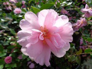 Camellia hiemalis 'Showa no Sakae'