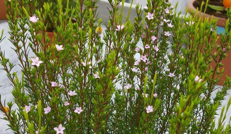 Coleonema pulchellum, stelline rosa da primavera all'autunno