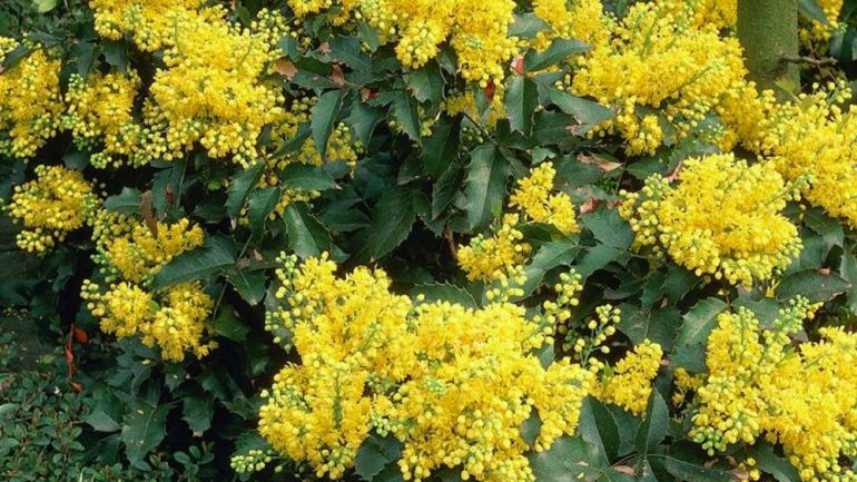 Mahonie, fiori d'inverno