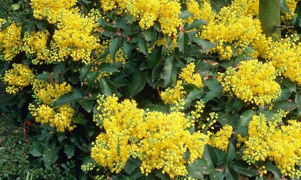 Cespuglio Con Fiori Gialli.Arbusti A Fiore Giallo Archivi Italian Botanical Trips