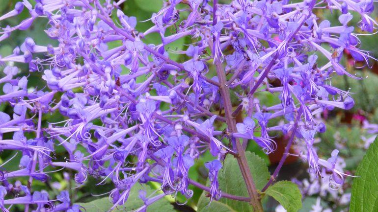 Plectranthus ecklonii: fiori violetti da fine estate all'inverno