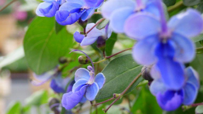 Clerodendron 'Ugandense', l'arbusto delle farfalle blu