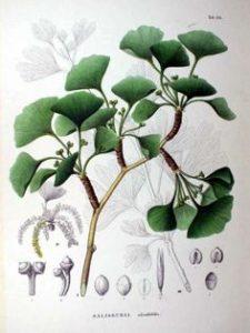foglie, fiori e frutti di Ginkgo biloba (dal web)