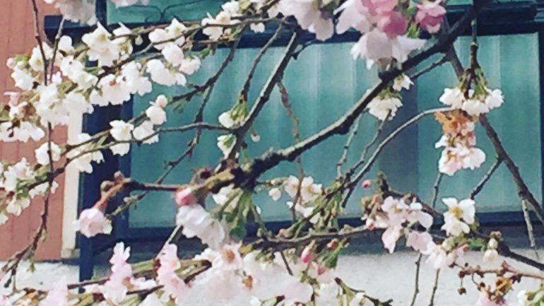 Prunus subhirtella 'Autumnalis Rosea', il ciliegio d'inverno