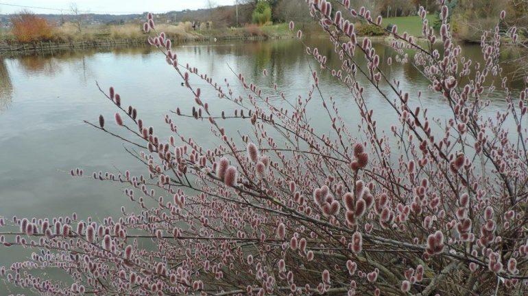 Salix chaenomeloides 'Mount Aso', il salice rosa