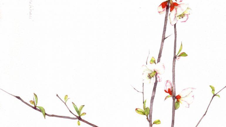 Chaenomeles cathayensis, dipinto da Silvia