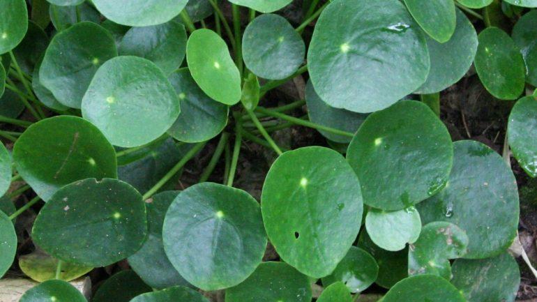 Pilea peperomioides, la pianta delle monete