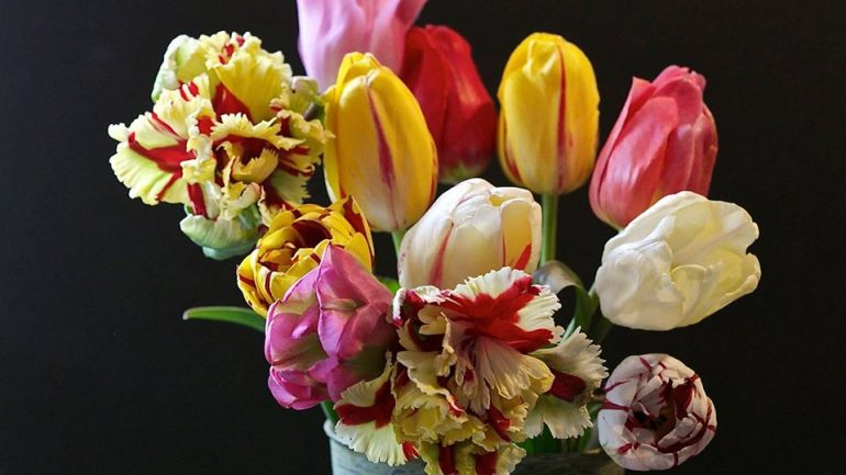 Tulipani italiani italian botanical trips for Tulipani italiani