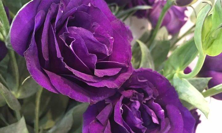 Eustoma 'Arena Purple Night': nuovo fiore reciso dell'anno 2017