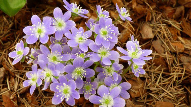 Hepatica nobilis, piccole stelle