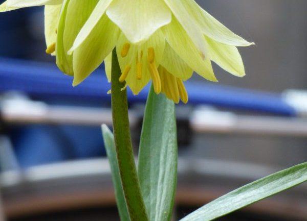 Fritillaria raddeana: raffinato giallo lime