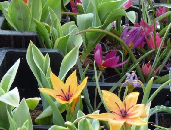 Tulipani selvatici