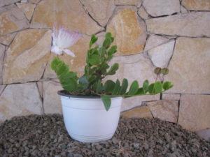 Vivaio Rosso Melograno : Melograno da fiore punica granatum piante da giardino