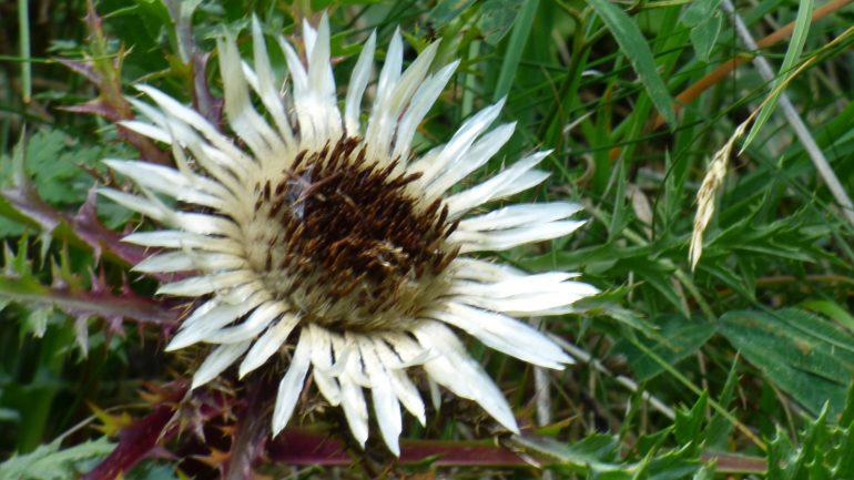Carlina acaulis, o carlina bianca