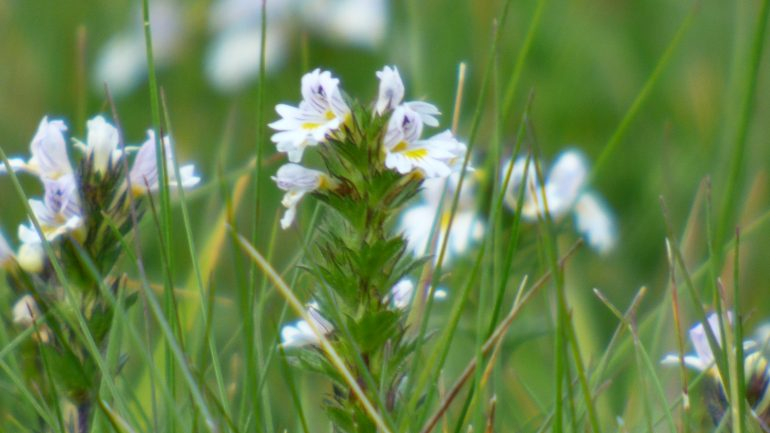 Minuscola, deliziosa Euphrasia officinalis rostkoviana