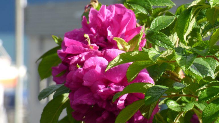 Rosa 'Hansa' e i giardini norvegesi