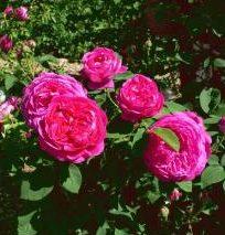 La Rosa da sciroppo