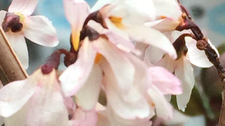 La forsizia rosa