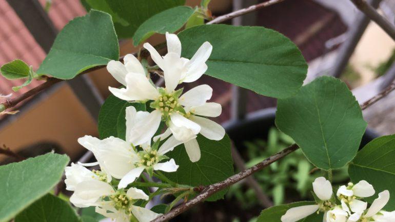 Il pero corvino…svizzero: Amelanchier rotundifolia 'Helvetia'