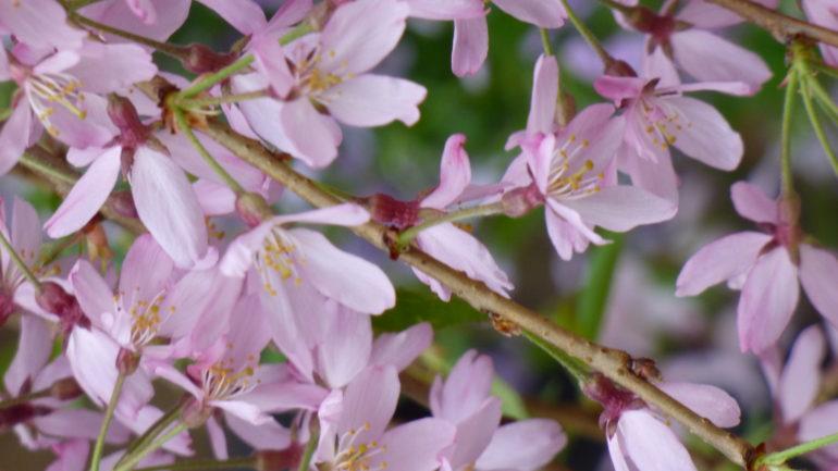 Ancora ciliegi da fiore
