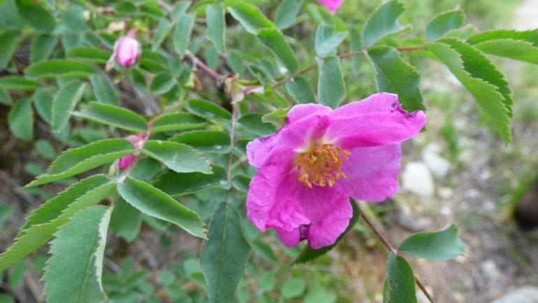 La Rosa pendulina