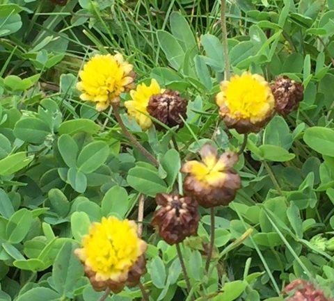 Trifolium badium, il trifoglio giallo-bruno
