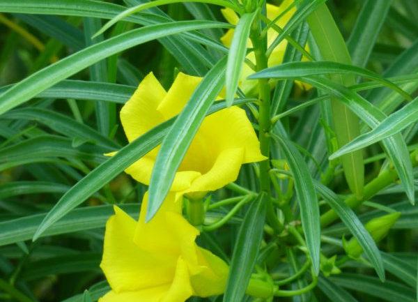 Thevetia peruviana, l'oleandro giallo