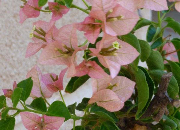 La buganvillea rosa