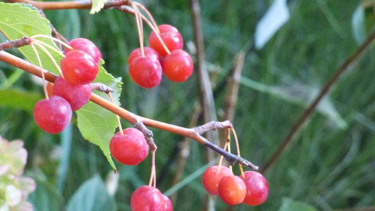 Le deliziose meline rosse di Malus 'Red Jade'