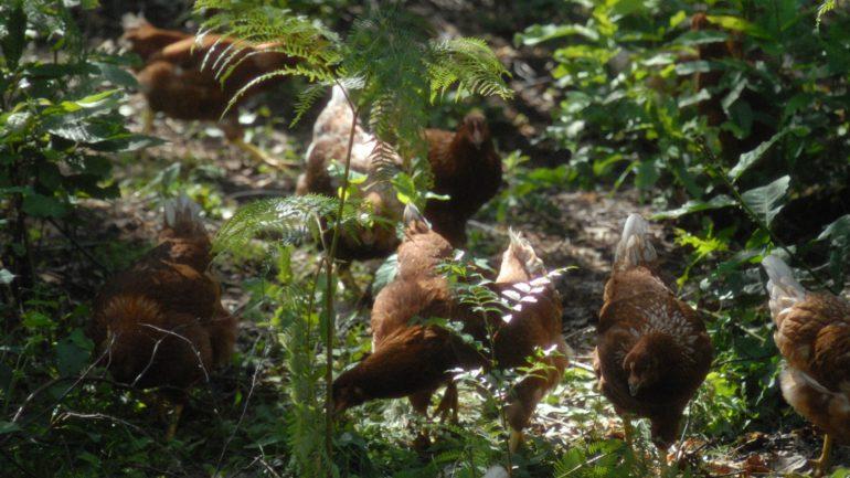 Uovodiselva e le gallinelle felici