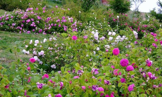 Il Museo Giardino della Rosa Antica