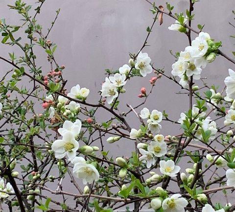 Il fiore di pesco bianco