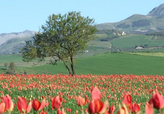 Tulipani rossi in fiore