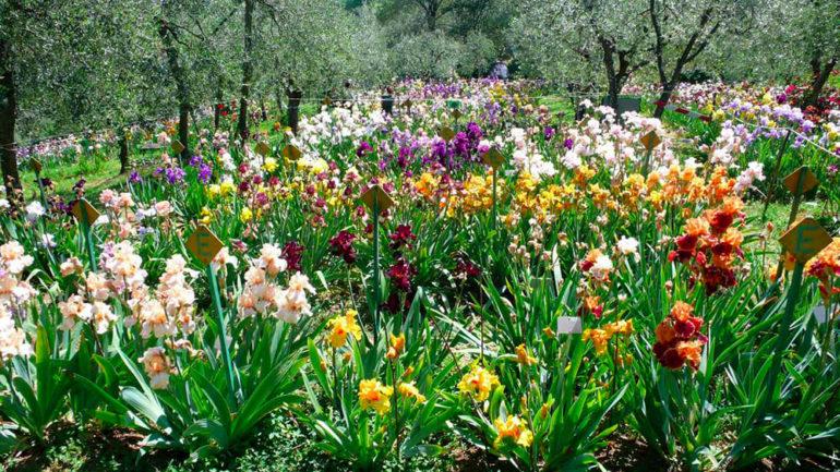Andar per iris e rose nei giardini di Firenze