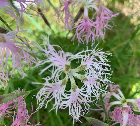 Dianthus superbus, il garofano a pennacchio