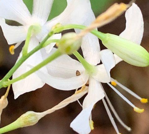 Campanelline bianche: Anthericum ramosum