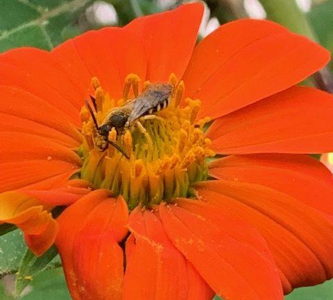 Tithonia diversifolia, il girasole messicano