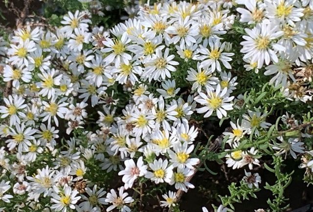 Aster 'Snow Furry', il ricadente
