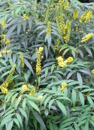 La mahonia dalle foglie di felce