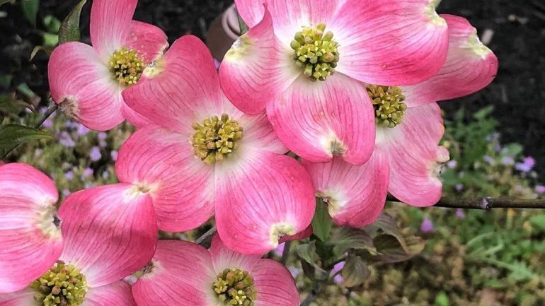 Tre Cornus da fiore di Floricoltura Fessia