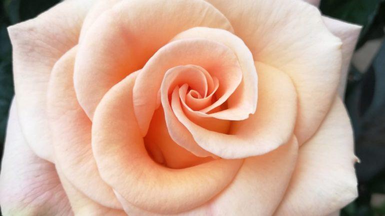 Cinque belle Rose di Firenze