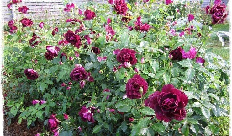 Sette rose sette di Anna Peyron